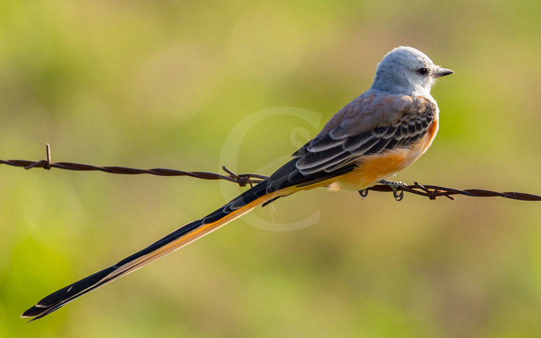 The Scissor-Tailed Flycatcher