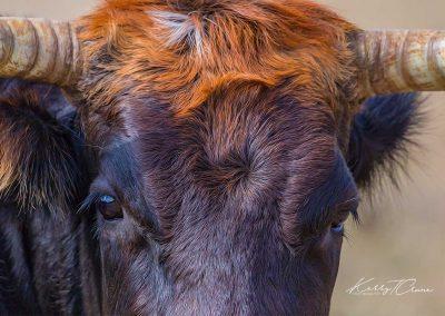 """Carrot Top"" The Longhorn Calf"