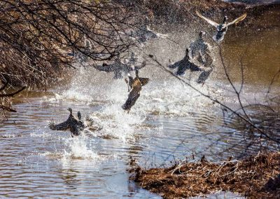 Mallards On East Creek